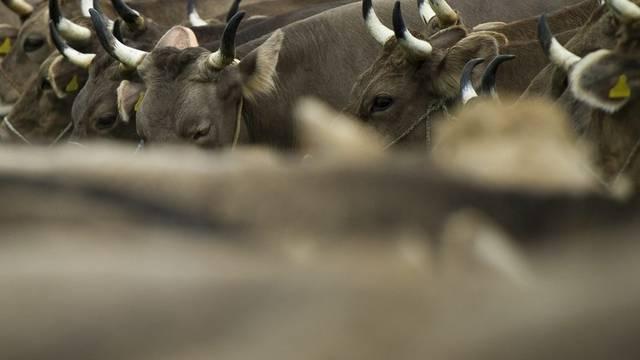 Kühe präsentieren sich an einer Viehschau (Symbolbild)
