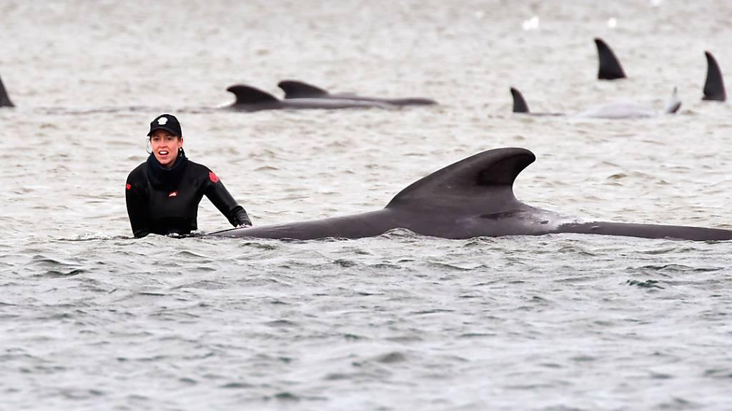 Letzte Rettungsversuche für gestrandete Wale in Australien