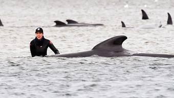 Eine Frau steht neben einem getrandeten Grindwal, bei dem Versuch dem Tier zu helfen, im Hafen von Macquarie im Wasser.  25 der rund 270 an der australischen Insel Tasmanien gestrandeten Grindwale sind Behörden zufolge bisher gerettet worden. Foto: Brodie Weeding/THE ADVOCATE/AP/dpa