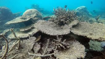 Great Barrier Reef Korallenbleiche