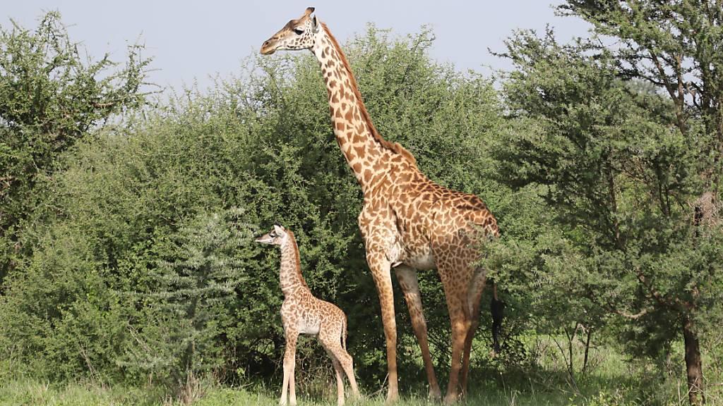 Einige junge Giraffenmännchen bleiben ihrem Geburtsort treu