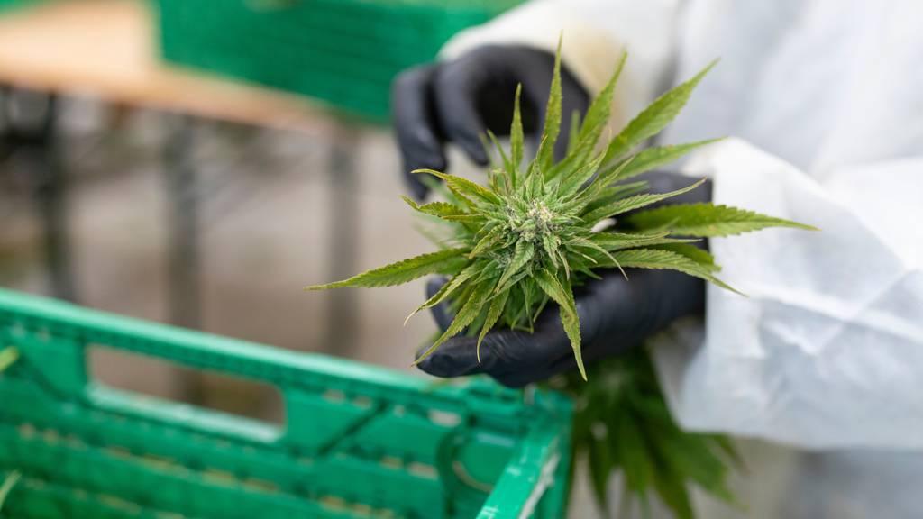Anleger können jetzt an der Schweizer Börse in medizinisches Cannabis investieren