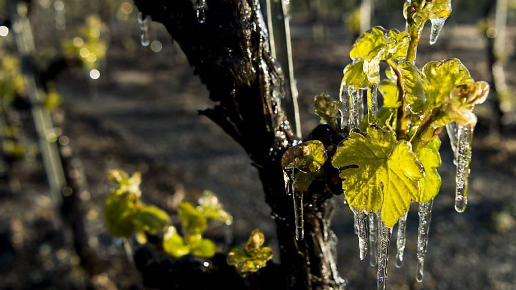 Alles gut beim Wein: Reben bleiben vom Frost verschont