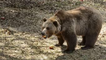 Ein Bär im Berner Tierpark Dählhölzli.