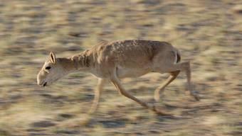 Eine Saiga-Antilope in einem Reservat in der Mongolei (Archiv)