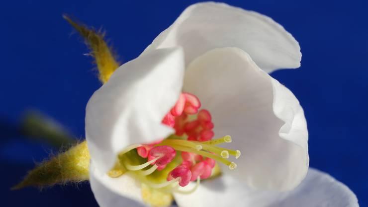 Wenn da nicht Frühlingsgefühle entstehen: wie Herzen im Kreis formieren sich die Staubblätter in der Birnenblüte