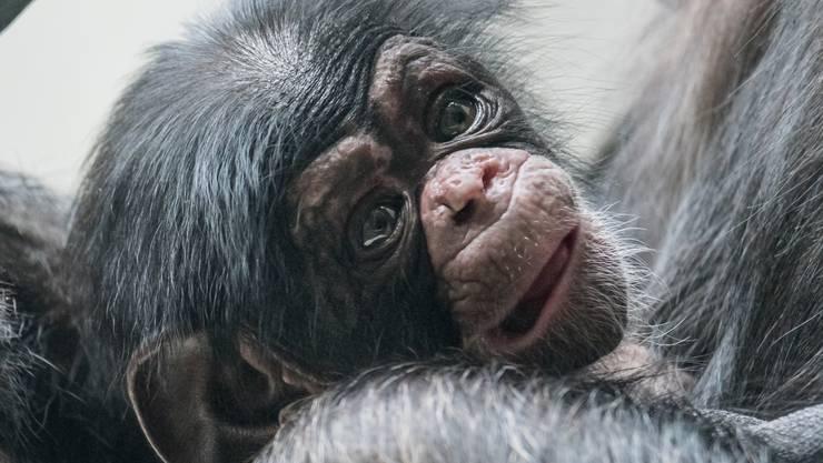 Am 26. Dezember 2017 kam das kleine Schimpansen-Mädchen auf die Welt.