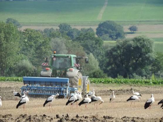 Störche hinter einem Traktor. In der Witi gibt es viele dieser Vögel.