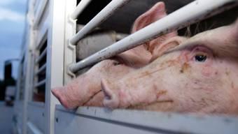 Schweine des Zürcher Züchters mussten leiden. (Symbolbild)