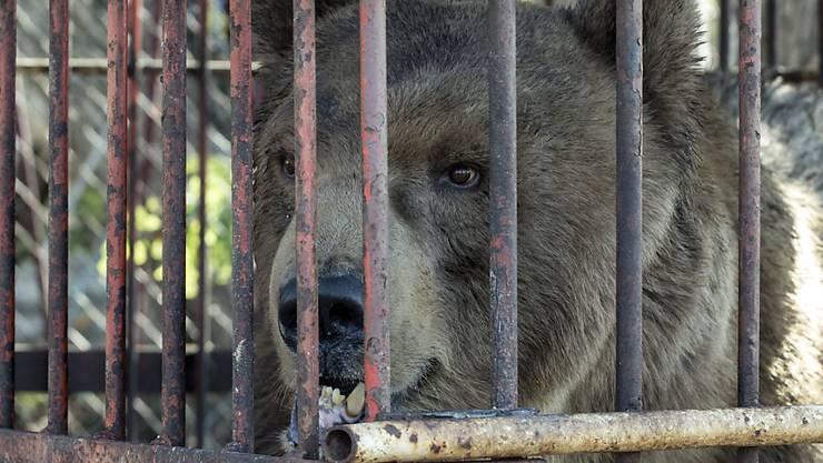 Vor seiner Rettung lebte der Zirkusbär in einem engen, rostigen Käfig.