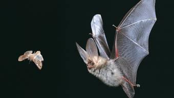 Wie wirkt sich die Lichtmenge auf das Verhalten von Fledermäusen und Insekten aus?