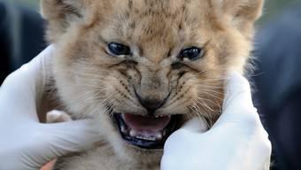 Der Löwenjunge Simba ist in der Neuauflage von «Der König der Löwen» deutlich weniger emotional als dieses – echte – Expemplar, findet der Autor.