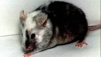Um eine therapierbare Gemeinsamkeit von verschiedenen seltenen Krebsmutationen zu finden, brachten kanadische Forscher 500 solcher Mutationen in eine einzelne Labormaus ein. Das sparte Zeit und Kosten und weitere Mäuseleben. Und war erst noch von Erfolg gekrönt. (Symbolbild)