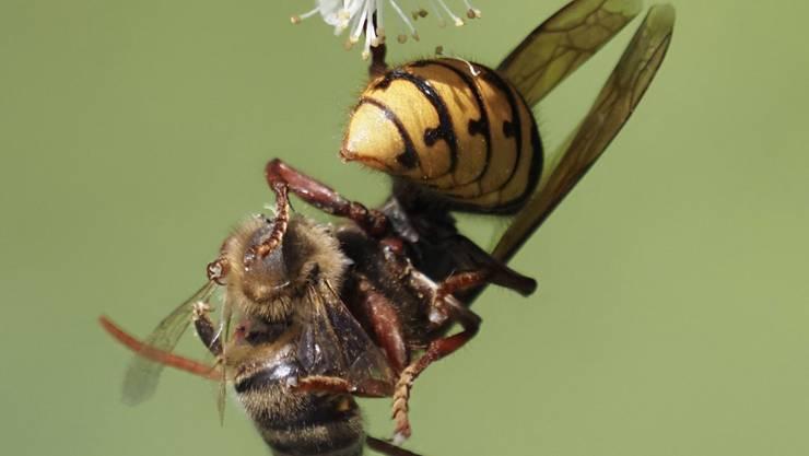 Hier wird die Biene verspiesen. Aufgenommen in Urdorf