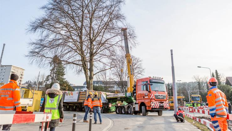 Aufsehenerregende Aktion: Im Februar wurde die Buche im Schlieremer Zentrum um 170 Meter in den künftigen Stadtpark versetzt.