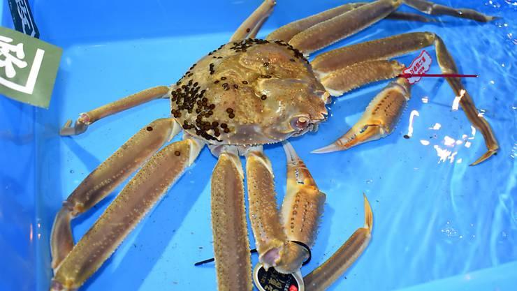Diese Schneekrabbe wurde für rund 46'000 Franken verkauft. Das Fleisch dieser Krabbenart gilt als besonders delikat.