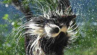 Da Hunde nicht schwitzen können, ist kühles Wasser umso willkommener.
