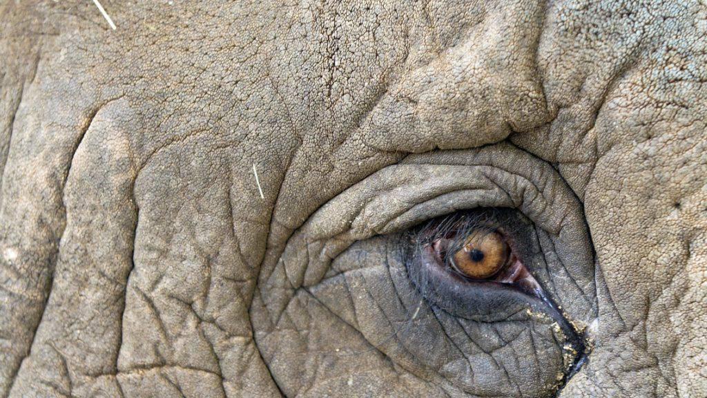 Elefant «Bin Laden» nach tödlicher Trampeltour umgesiedelt