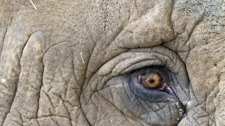 """Nach einer Trampeltour mit fünf Toten wird in Indien ein Elefant namens """"Bin Laden"""" zwangsweise umgesiedelt. (Symbolbild)"""