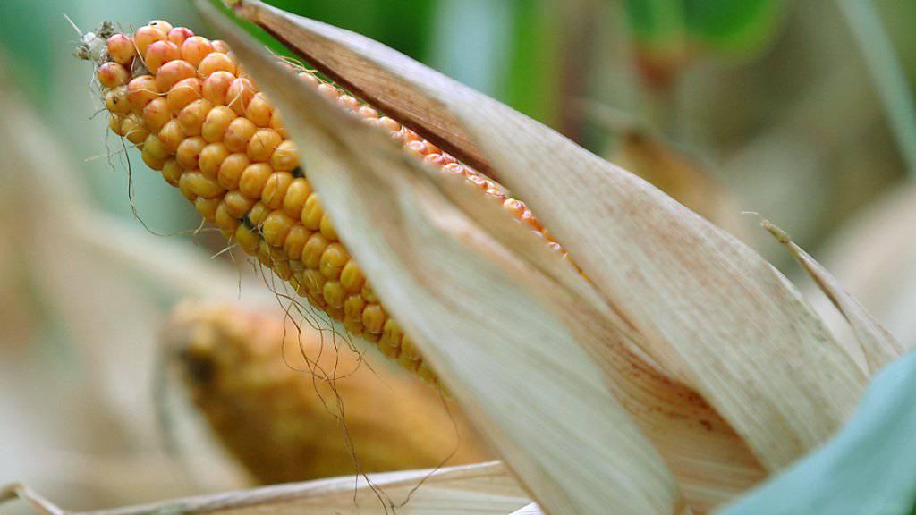 Kolben von genmanipuliertem Mais MON 810 des US-Konzerns Monsanto (Archiv)
