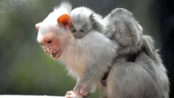 Auch Seidenäffchen waren unter den beschlagnahmten Affen (Symbolbild)