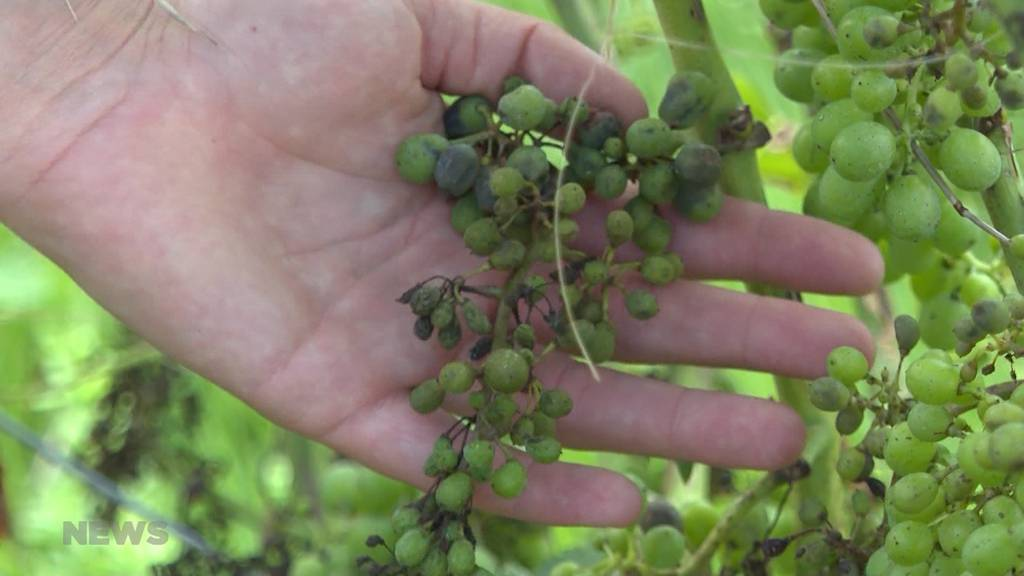 Winzer bangen wegen endlosen Gewittern um ihre Ernte