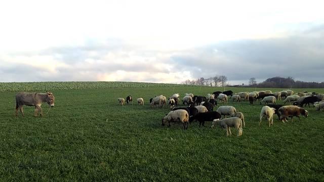 Die Schafe von Sandro und Stefan Wyss grasen derzeit in Bettwil.