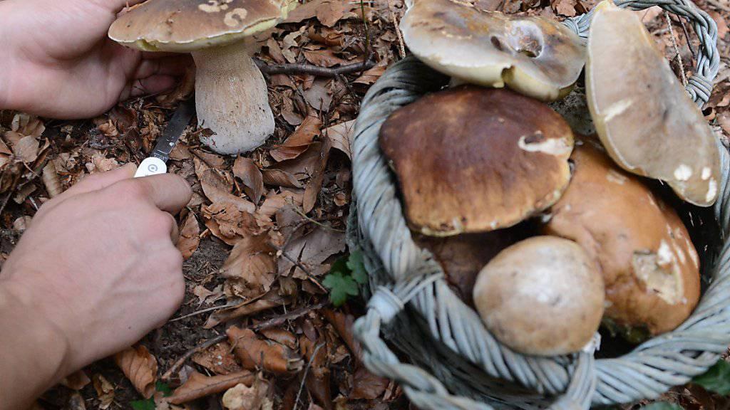Geht es nach der Tessiner Regierung, dann sollen Pilzesucher künftig erst einen Ausweis beantragen müssen, um diese Steinpilze mit nach Hause nehmen zu dürfen (Archivbild).