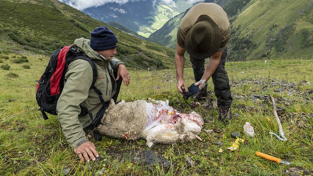 Die Wildhüter untersuchen ein gerissenes Schaf.