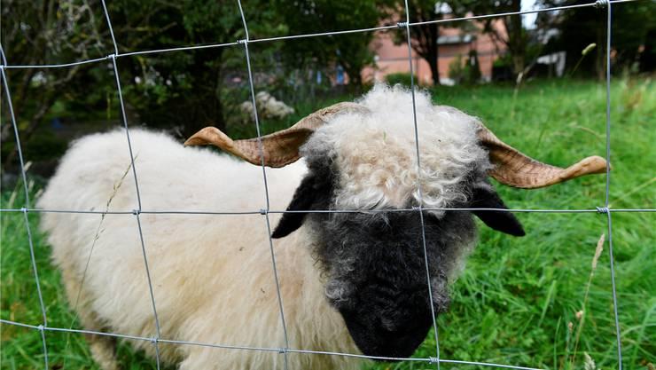 «Müeti» kommt sofort, um zu kontrollieren, ob Gefahr für ihre Herde besteht.