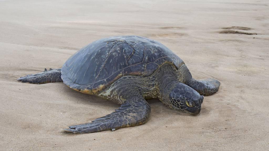 Algen-Parasiten töten fast 300 seltene Meeresschildkröten
