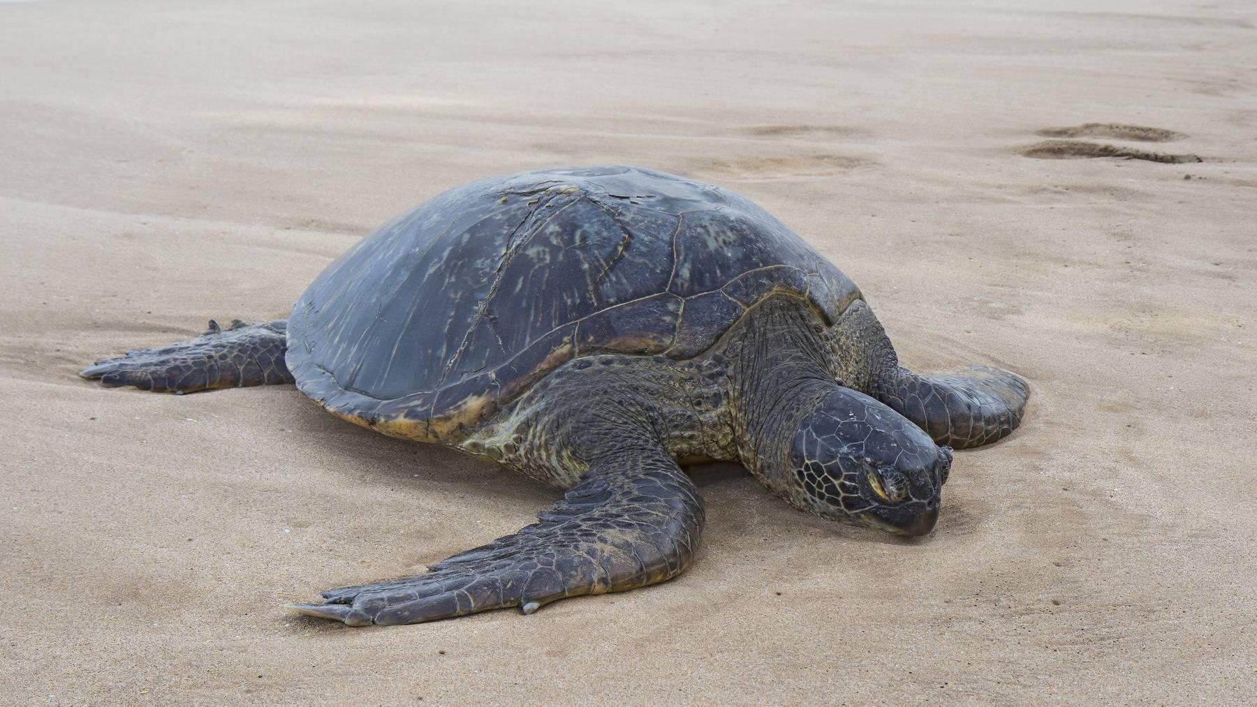300 Meeresschildkröten sterben in Mexiko wegen eines Parasiten.