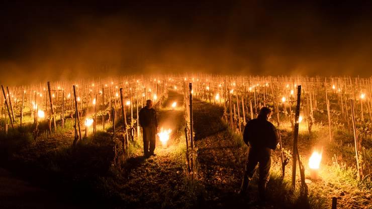 Mit diesen Kerzen versuchte man schon letztes Jahr, die Erträge während der eisheiligen im April zu schützen.