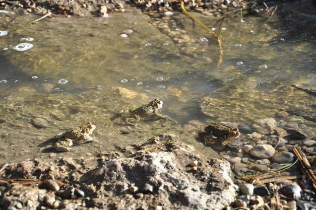 Jahr für Jahr zeigt sich dasselbe Bild: Erdkröten und Frösche treffen sich am Heimatgewässer zur Paarung.