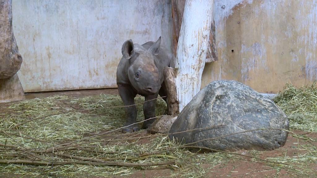 Nashornweibchen aus dem Zoo Zürich ausgewildert
