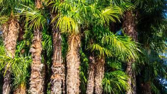 Wieso nicht mal eine Palme als Geschenk zum Muttertag? (Themenbild)