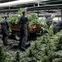 Ein auf Cannabis-Öl spezialisiertes Unternehmen will in Dänemark an die Börse gehen. Um die Versorgung sicherzustellen, soll jetzt selbst angebaut werden. (Symbolbild)