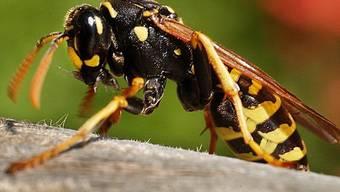 Wespen jagen vielen Menschen Angst ein (Archiv)