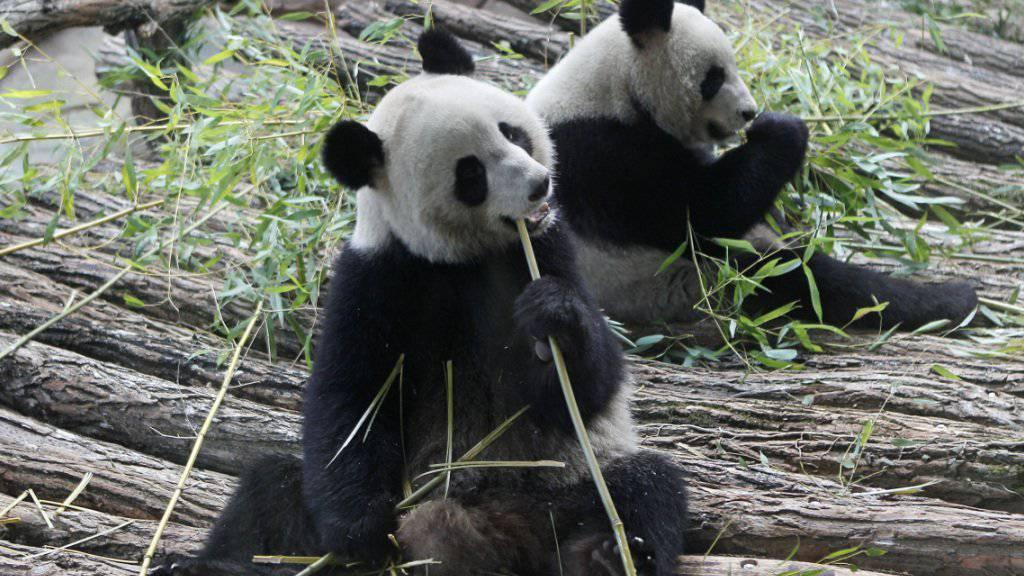Familienglück: Die zwei Pandabären im Tierpark von Beauval in Zentralfrankreich haben Zwillinge bekommen. (Archivbilld)