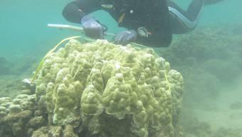 Vermessung einer Korallenkolonie. Forschende haben festgestellt, dass wärmere Temperaturen Korallen heute weniger ausmacht als noch vor 50 Jahren.