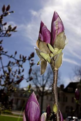 Rund um die Pauluskirche, Magnolienblüten