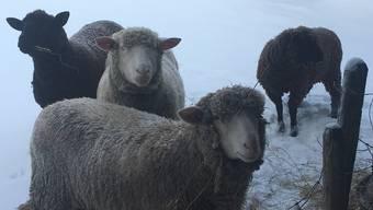 In Flumenthal sind vier Schafe spurlos verschwunden. Auf diesem Foto sind zwei der vier vermissten Schafen zu sehen. (Archiv)