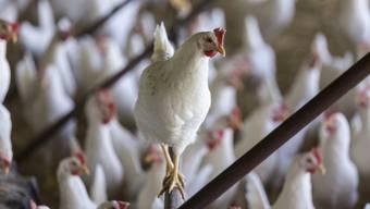Im Kanton Aargau leben fast doppel so viele Hühner wie Menschen (Symbolbild)