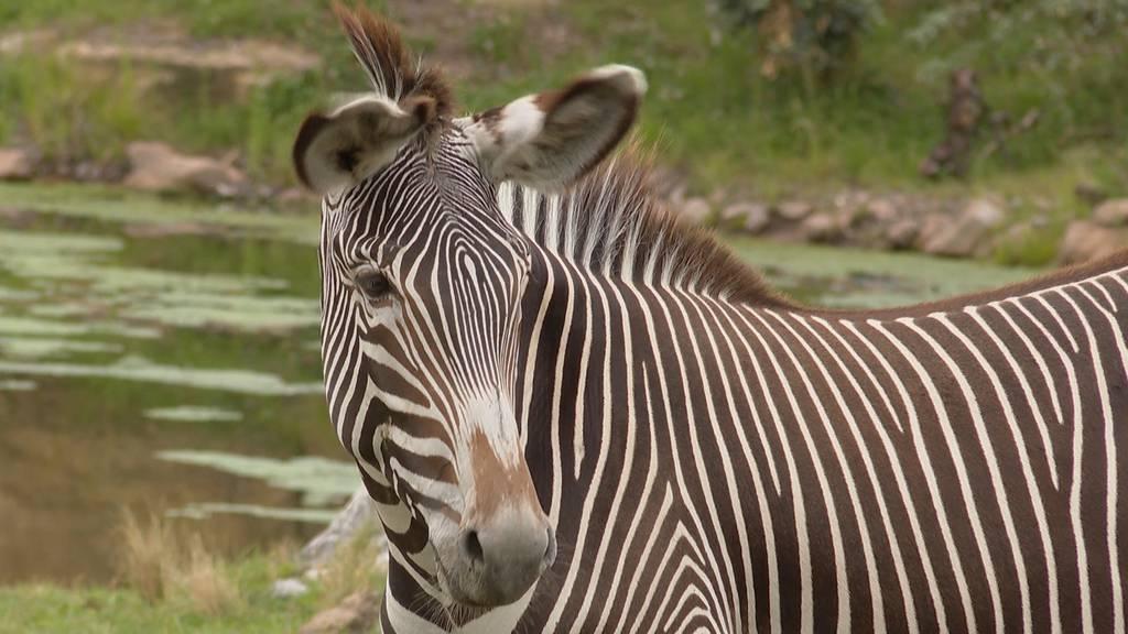 Stark gefährdete Grevyzebras: Das sind die neusten Bewohner im Zoo Zürich