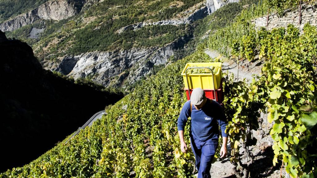 Forscher suchen im Wallis nach Methoden für Weinbau im Klimawandel