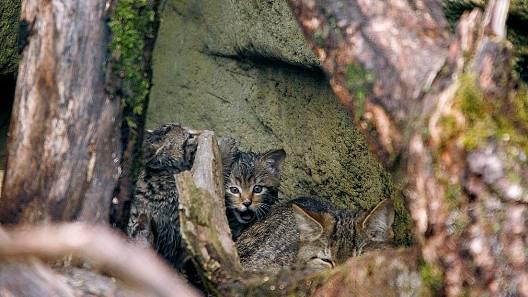 Diese Vierbeiner steht unter Schutz: Wildkatzen sind im Gegensatz zu verwilderten Hauskatzen eine seltene Art. (Archiv)