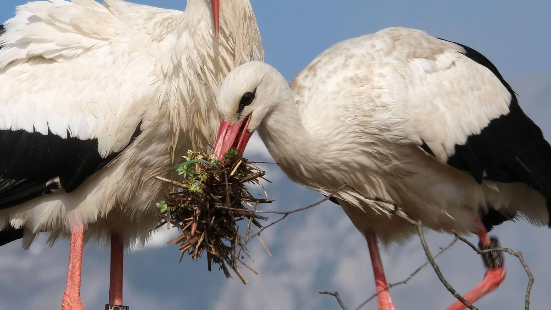 Das Nest wird vervollständigt.