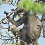 Ein Popa-Languren-Weibchen mit seinem Jungtier in Myanmar: Die Tiere leben in den Wälder Südostasiens und kämpfen ums Überleben.