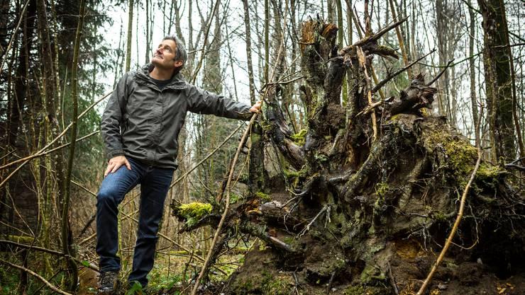 Felix Holenstein, Revierförster und Leiter Kommunaler Forstdienst der Stadt Dietikon, bei einem Wurzelstock – noch sichtbare Folgen der Sturms Lothar.