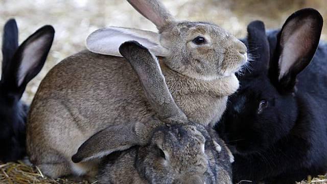 Neuseeland: Grossjagd auf Kaninchen zu Ostern